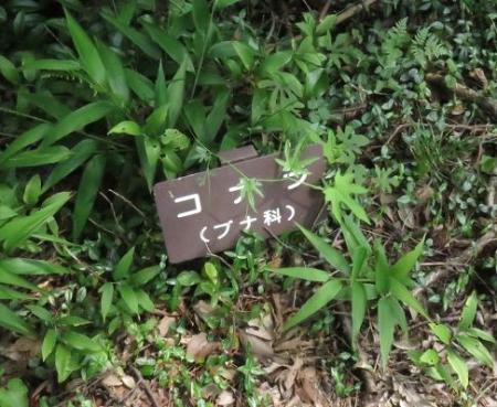 星野イワタバコ 091