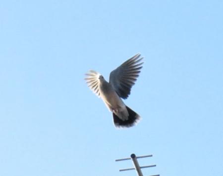 朝の鳩アンテナ 016