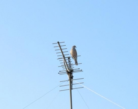 朝の鳩アンテナ 012