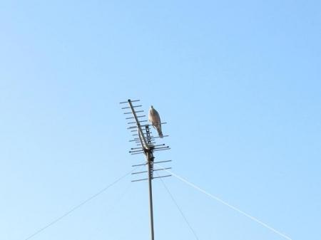 朝の鳩アンテナ 013