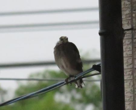 雨の朝鳥 137