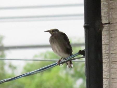 雨の朝鳥 136