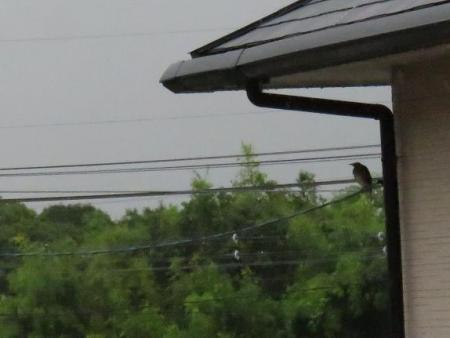 雨の朝鳥 134