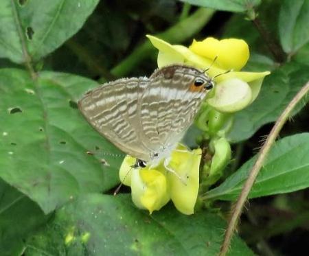 黄色の豆の花 061