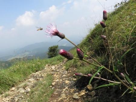 モウセンゴケ天山 149