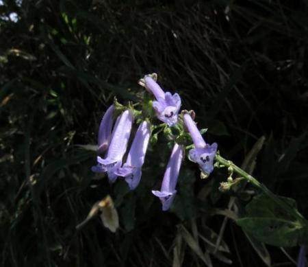モウセンゴケ天山 188