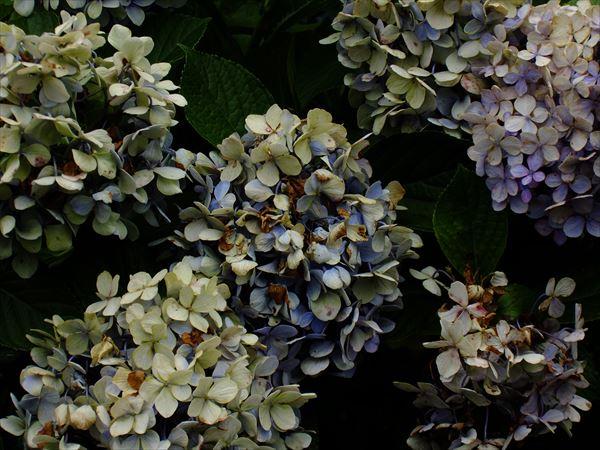 朽ちていく紫陽花