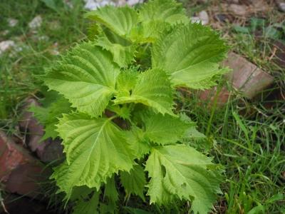 G_studiomimosaこぼれシソの葉