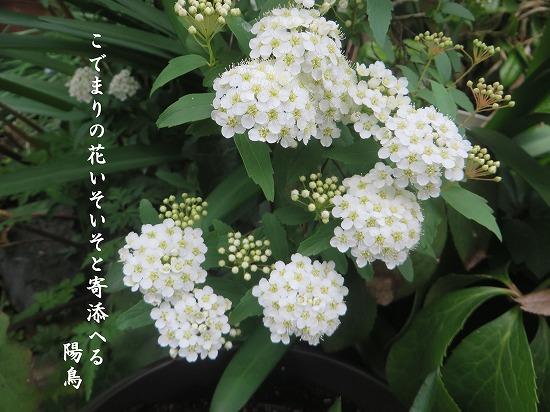 こでまりの花