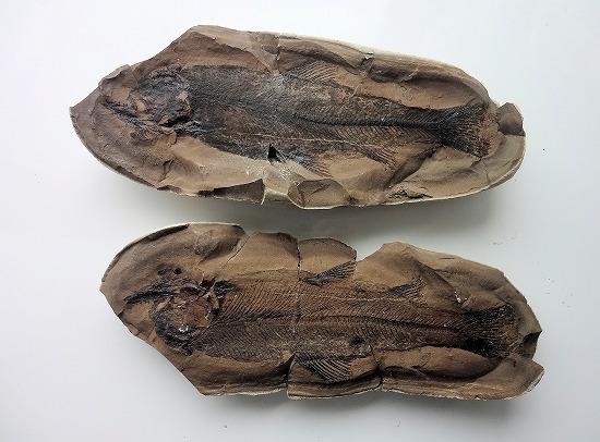 野上層の化石