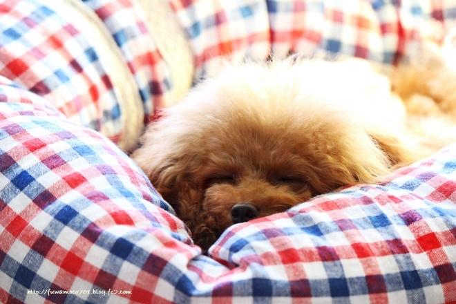 チビプードルモコの毎日☆モコ お昼寝