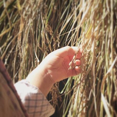 2016.10稲刈り