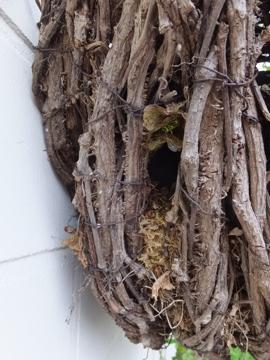 ミソサザイの巣