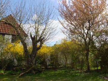 リンゴの木〜桜