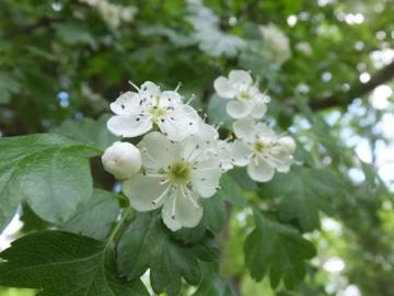 サンザシの花
