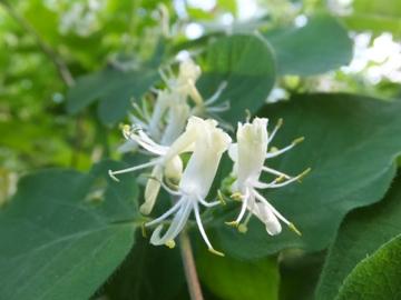 スイカズラ科の木