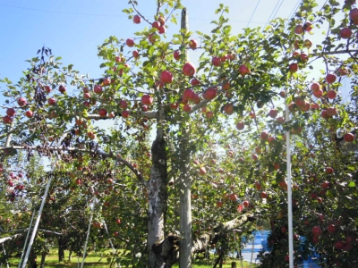 道の駅周辺のリンゴ161007