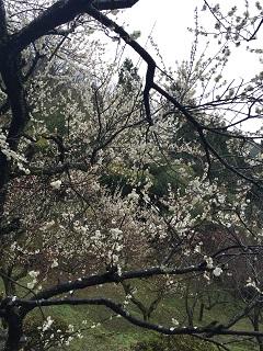 梅林公園 梅まつり 2016 6