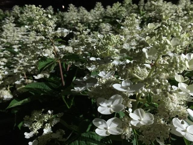 飯森山公園 あじさい園 あじさいライトアップ3