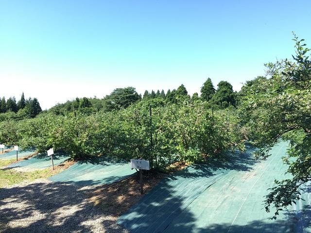 月山高原 鈴木農園 ブルーベリー1