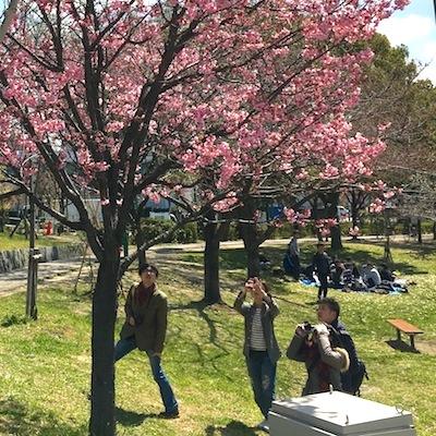 八幡屋公園桜