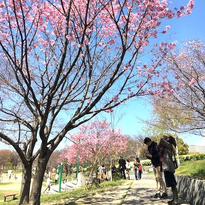 八幡屋公園桜2