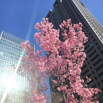 中之島へビル桜