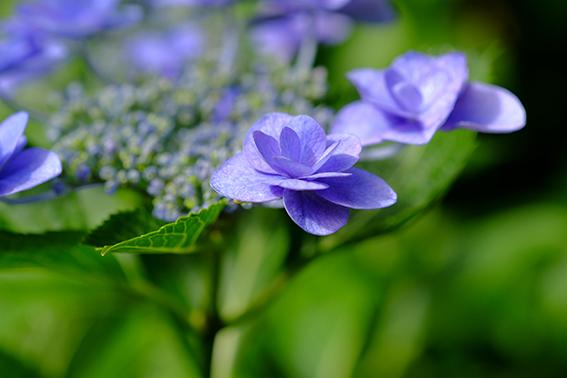 妙楽寺の紫陽花02