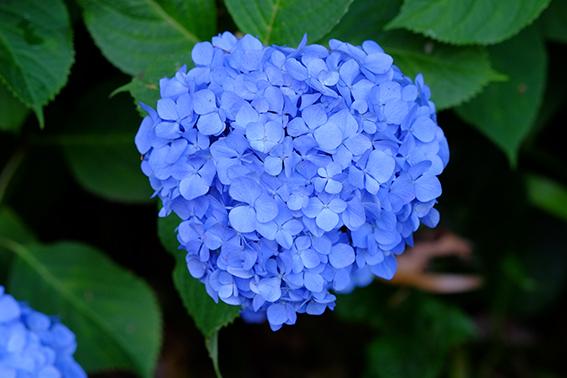 妙楽寺の紫陽花03