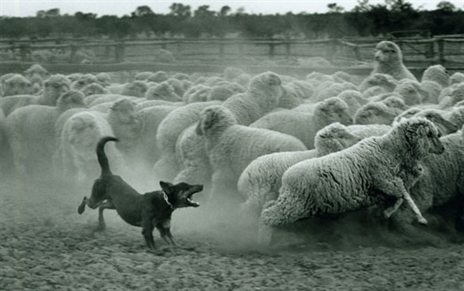 sheep-dog.jpg