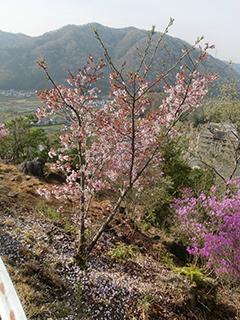 休憩所の桜