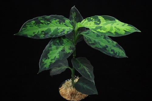 アグラアオネマ ピクタム スマトラ 緑三色