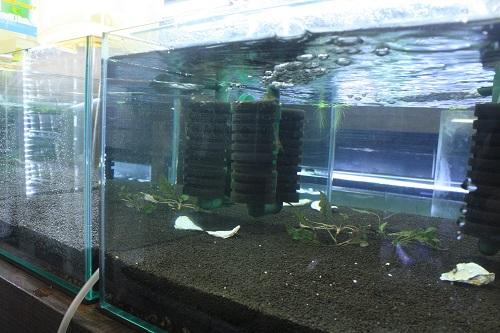 レッドビーシュリンプ繁殖