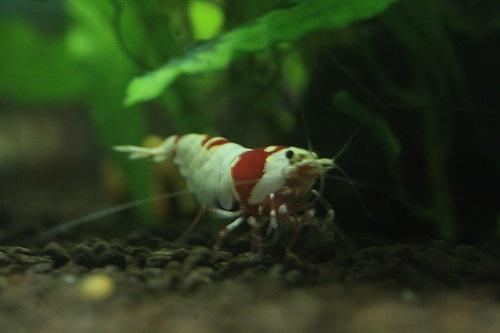 レッドビーシュリンプ抱卵