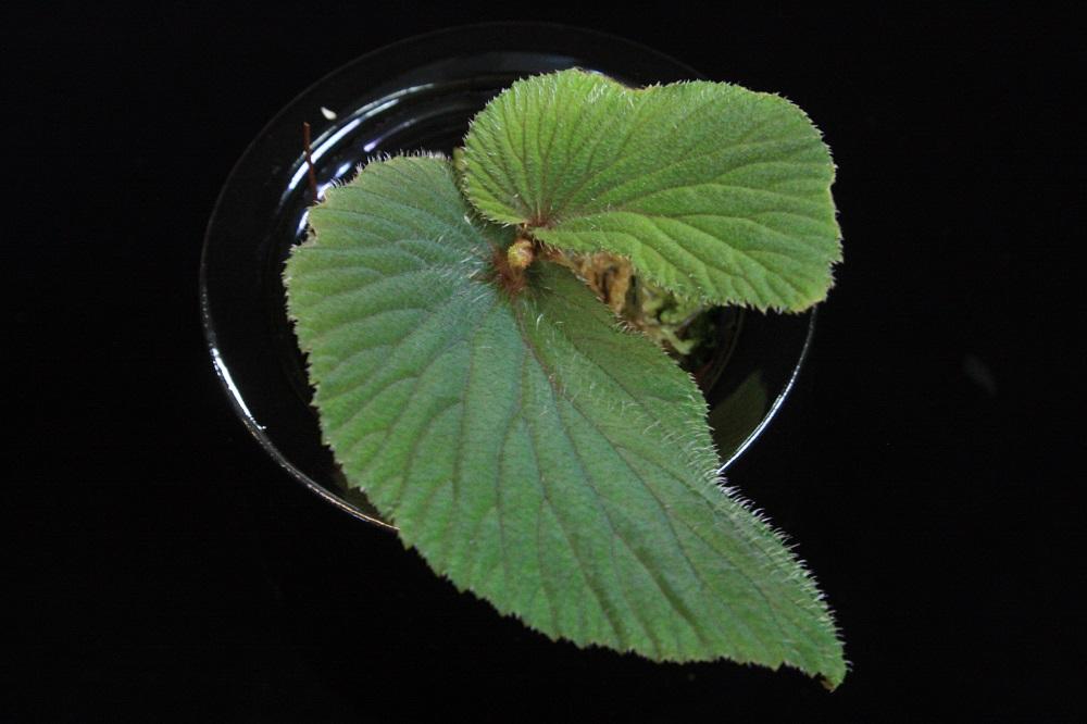 Begonia sp. Malinau
