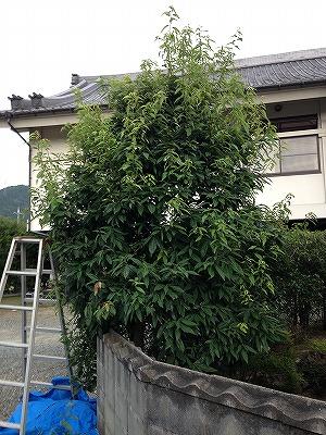 町道樫 2016 (2)