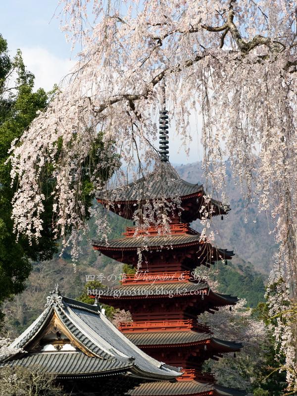 久遠寺の枝垂れ桜 A