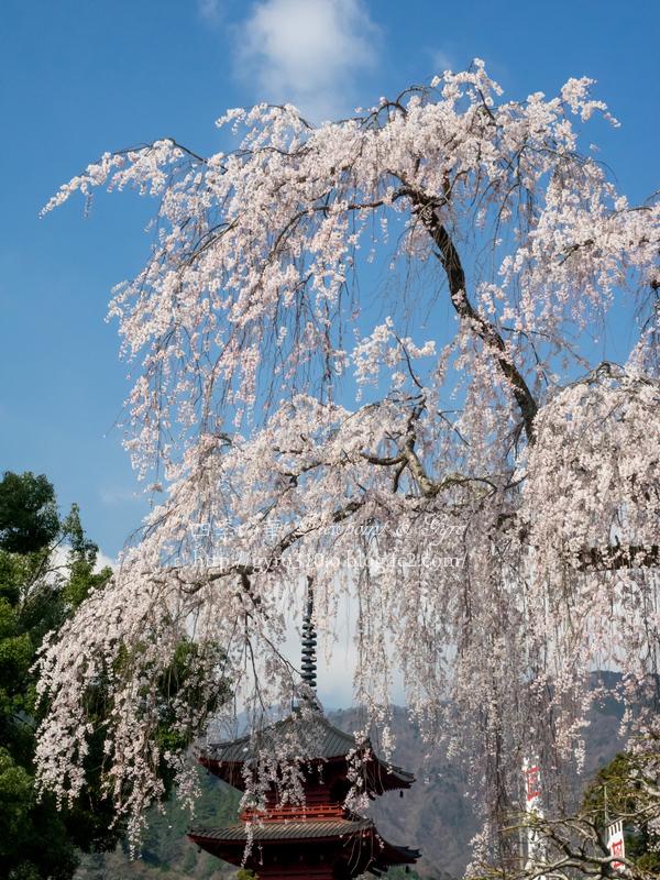 久遠寺の枝垂れ桜 B