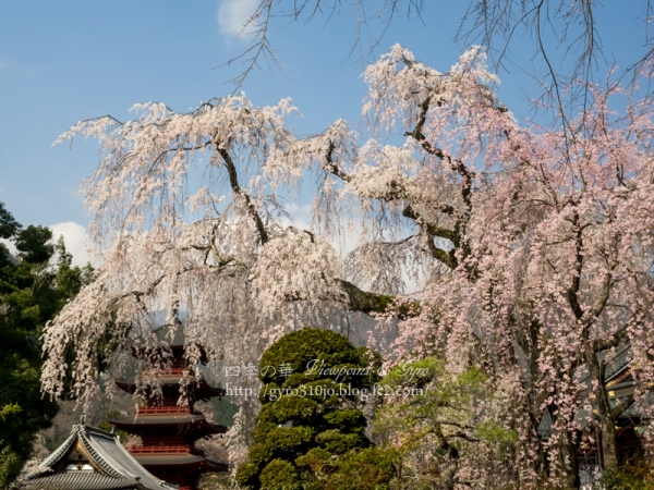 久遠寺の枝垂れ桜 E