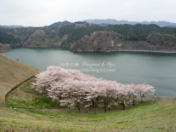 城山湖の桜 G