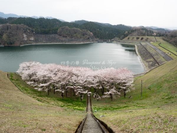 城山湖の桜 F