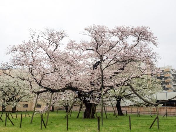 相模女子大の100年桜 A