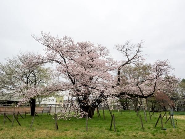 相模女子大の100年桜 B