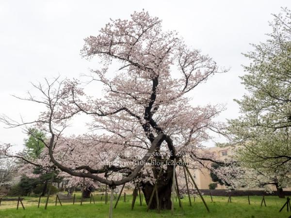 相模女子大の100年桜 C