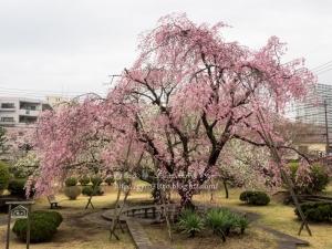 相模女子大の桜 E