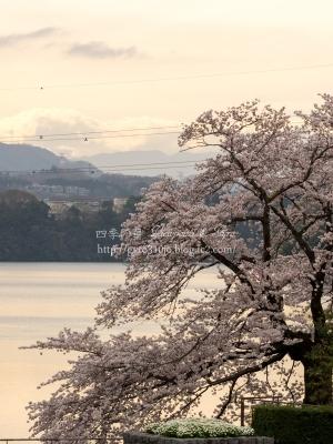 津久井湖の桜 L
