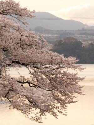 津久井湖の桜 K