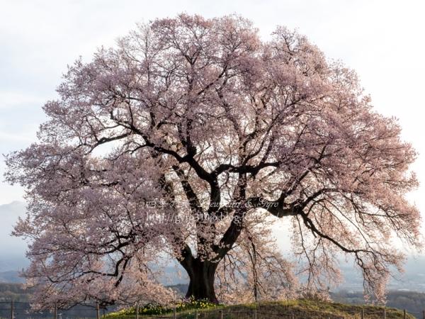 わに塚の桜 A