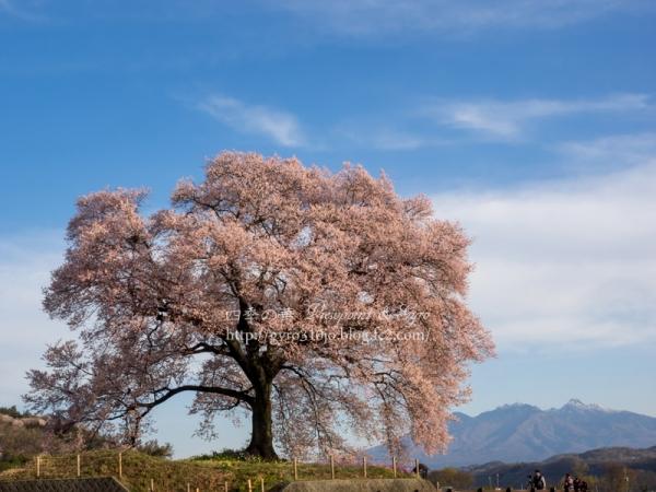 わに塚の桜 B