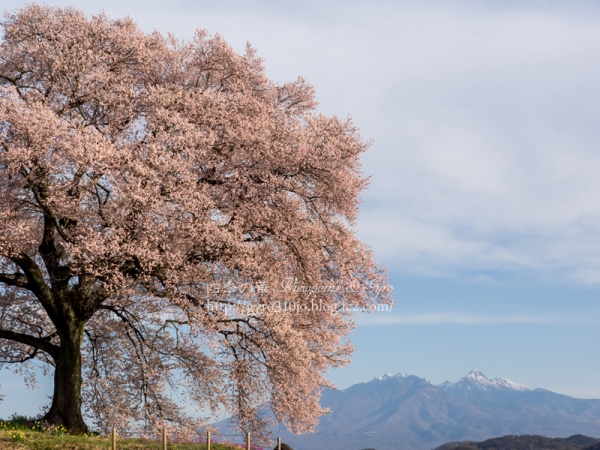 わに塚の桜 C